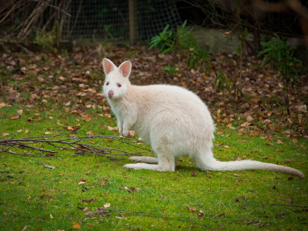 wallaby-0276
